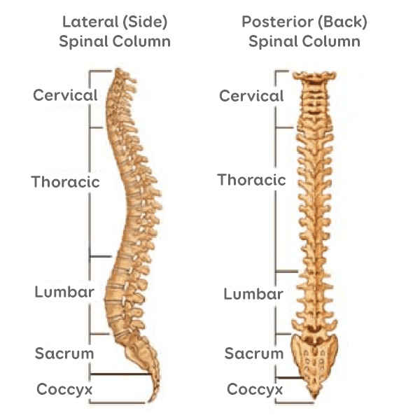 Anatomy Sussex Spine Solutions